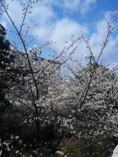 ピクニックエリアの桜